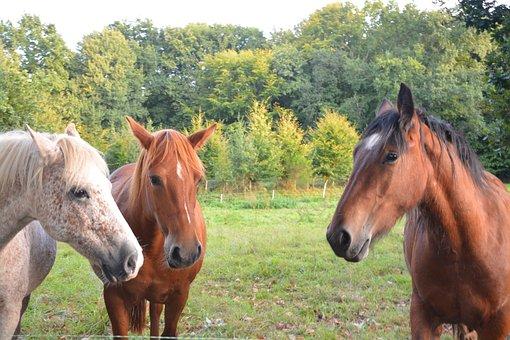 Horses, Prairie, Ruminant Herbivore, Equine, Field, Pre