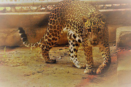 Leopard, Scary, Cage, Zoo, Carnivore, Panthera Paradus