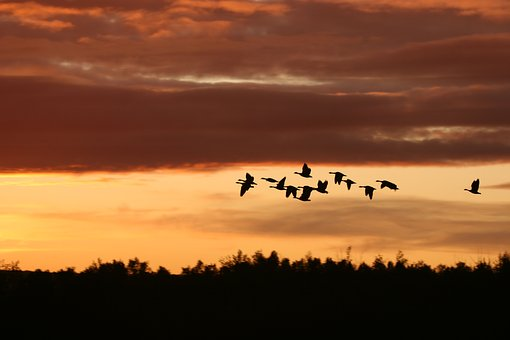 Migrating Birds, Sunset, Nature, Birds, Sky, Wildlife