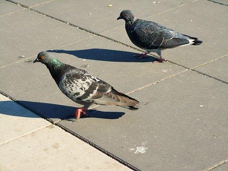 Urban Pigeon, Bird, Animal