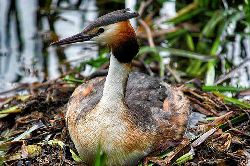 Great Crested Grebe, Nest, Water, Breed, Water Bird