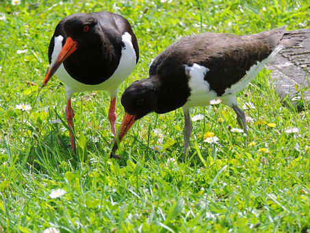 Oystercatcher, Mother Bird, Bird Young, Watt Birds