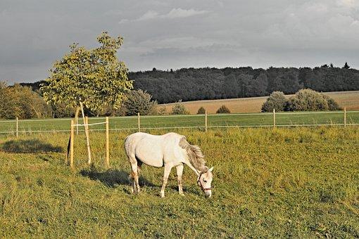 Horse, White, Pasture, Mold, White Horse, Wind, Windy