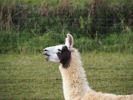 Lama, Camel, Paarhufer, Animal, Attention, Lama Head