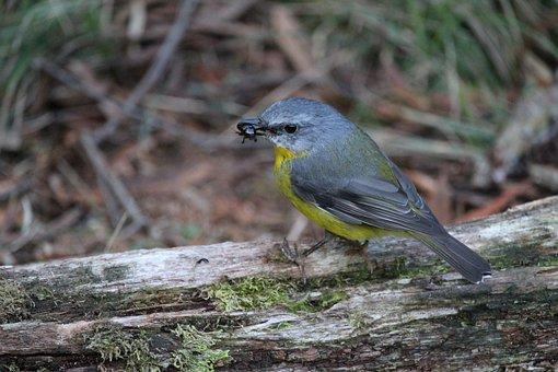 Eastern, Yellow, Robin, Bird, Beetle, Feeding, Eating