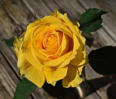 Yellow-orange Rose, Rose, Flower, Blossom, Bloom, Plant
