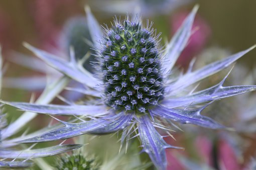 Thistle, Flowers, Steel Blue, Botanical, Flowering