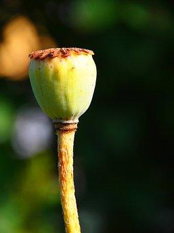 Poppy, Capsule, Garden, Flower, Plant