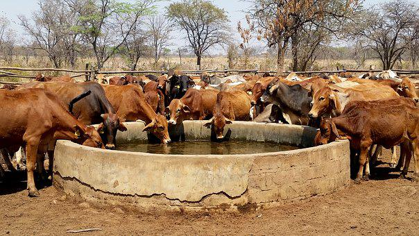 Cattle, Water Trough, Livestock, Farm, Drinking