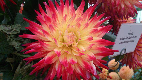 Dahlia, Blossom, Bloom, Flower, Macro, Close, Garden