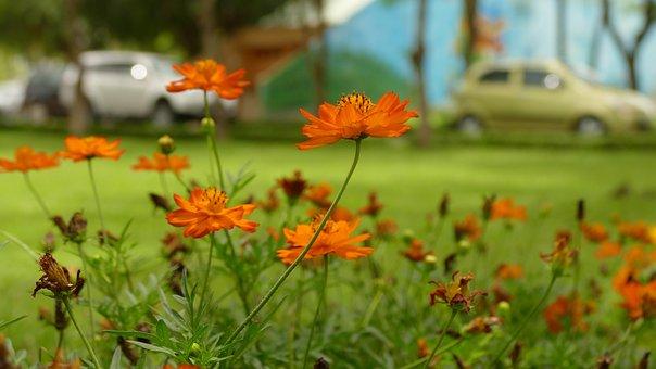 Daisy, Flower, Việt Nam, Nature, Color, Orange, Floral