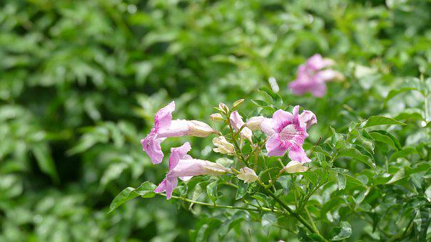 Garlic Vine, Bignone, Flower, Việt Nam, Nature, Color