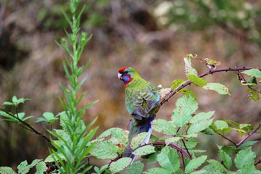 Parrot, Crimson, Rosella, Juvenile, Baby, Young