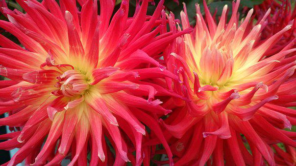 Flower, Plant, Blossom, Bloom, Dahlia, Late Summer