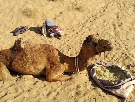 Camel, Desert, Travel, Backpack, Southwest Asia