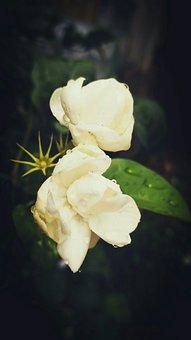 Flower, Jasmine, After Rain, Rain Drops