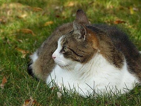 Animal, Cat, Felis Silvestris Catus, Grey White, Lying
