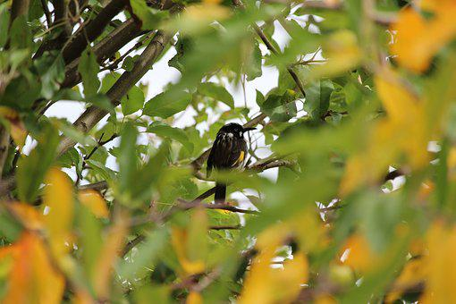 New, Holland, Honey, Eater, Honeyeater, Bird, Black