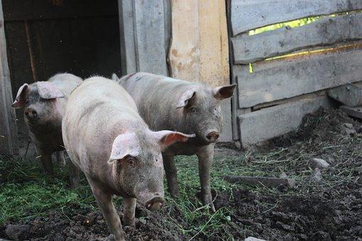 Pig, Nature, Animal, Natural, Pork, Piggy, Young, Pink
