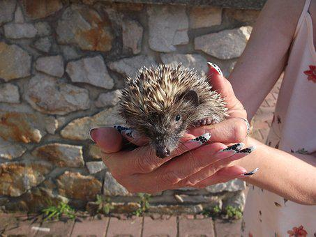 Little Hedgehog, Prickly Animal, Prickly-backed Animal
