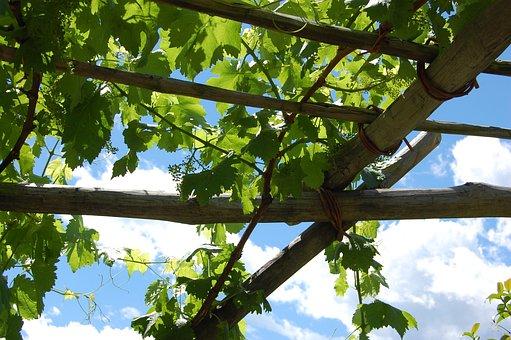 Wine, Vine, Grapes, Vines, Nature, Rebstock, Landscape