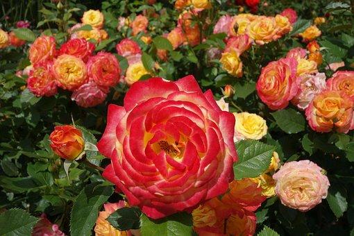 Roses, Pink, Orange, Rose Blooms, Rose Bloom, Red Rose
