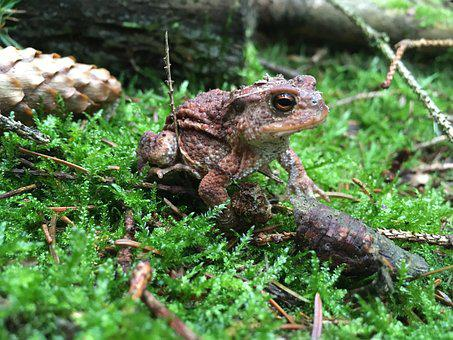 Frog, Forest, Brown, Nature, Wood, Light, View, Eyes