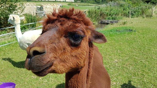 Animal, Hairy, Smile, Alpaca, Llama, Peru, Abbotsbury