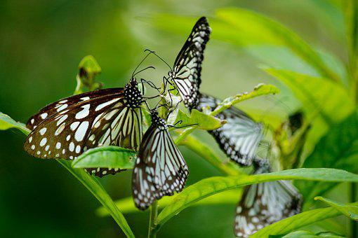 Butterfly, Blue Tiger Butterfly, Butterfly Group