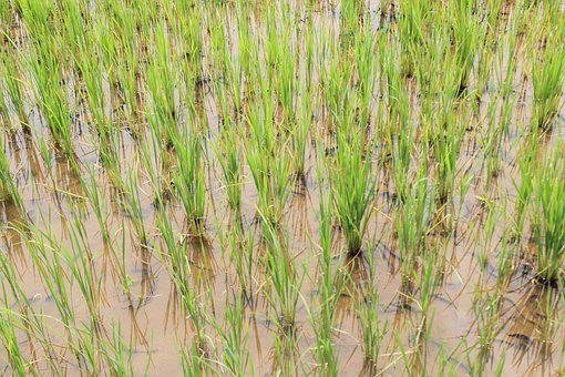 Rice, Farming, Agriculture, Plant, Green, Food, Paddy