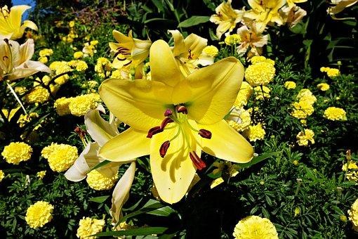 Lily, Flower, Garden, Longwood Garden