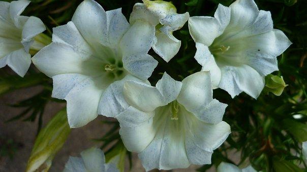 Gentian, Flower, White, Blossom, Bloom, Breeding