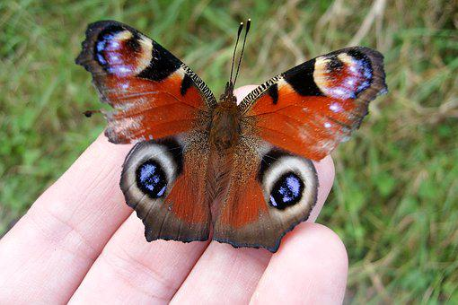 Insect, Nature, Macro, Butterfly In Your Hand, Wings