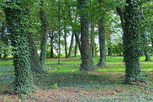 Tree, Ivy, Park, Spacer, The Environment, View, Nature