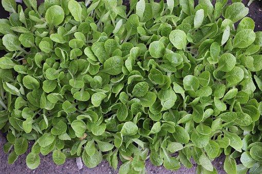 Seedlings, Lettuce, Vegetables