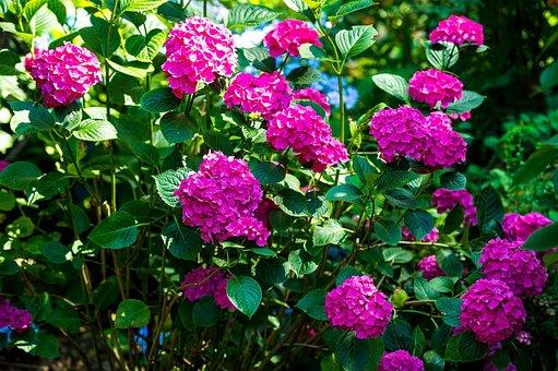 Hydrangea, Flowers, Hot Pink, Pink, Magenta, Vibrant