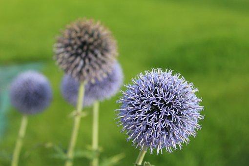 Przegorzan Blue, Honey Plant, Milk Thistle Is Rich
