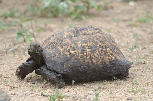 Tortoise, Muddy, Reptile, Animal, Wildlife, Creature