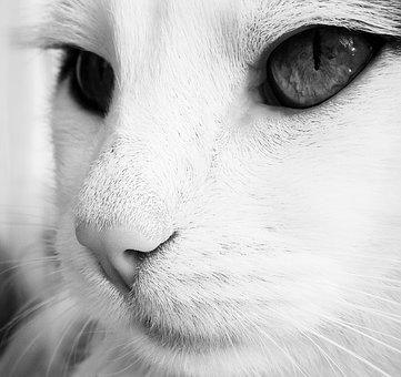 Cat, Black And White, Muzzle Cat, Angry Cat