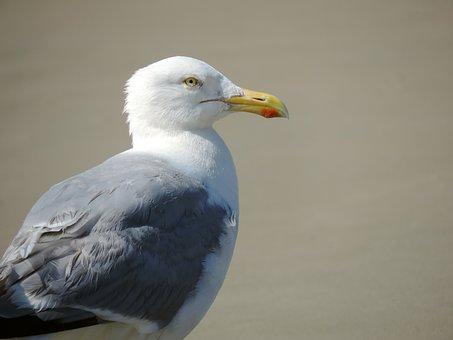 Seagull, Bird, Herring Gull, Sand, Animal, Nature