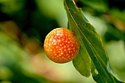 Galls, Oriental Chestnut Gall Wasp, Oak Gall, Larvae