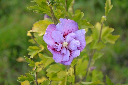 Flower Hibiscus, Flower Parma, Violet, Petals, Garden
