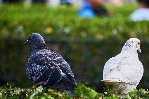 Pigeons, Differences, Opposites, Equality, Dispute