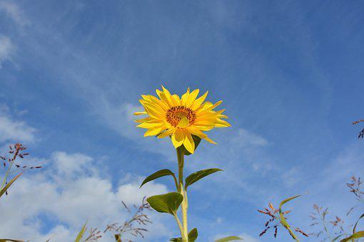 Flower, Sunflower, Plant, Yellow, Nature, Big Flower