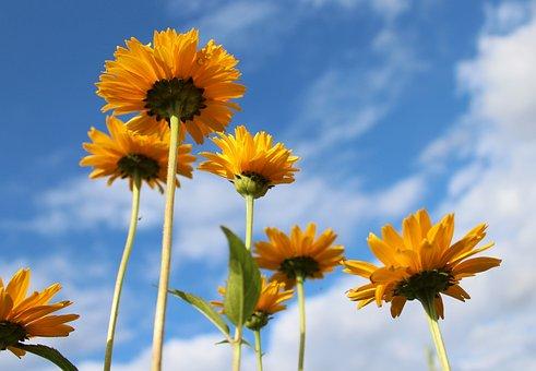 Słoneczniczki Rough, Yellow Flowers, Plant, Nature