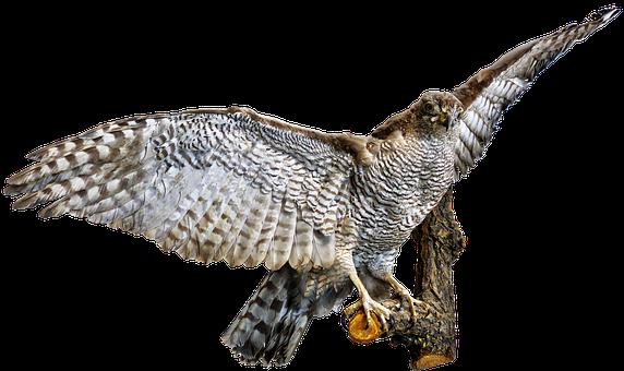 Bird, Bird Of Prey, Raptor, Preparation