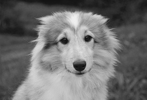 Dog, Bitch Young Dog, Puppy, Photo Black White