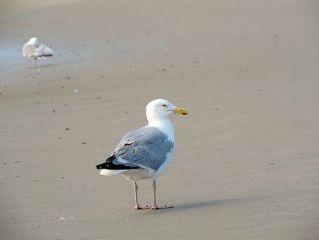Seagull, Herring Gull, Sand, Bird, Nature, Large Gull