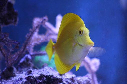 Fish, Surgeonfish, Hawaii Doctor Fish, Sea, Salt Water