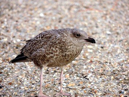 Seagull, Young Bird, Bird, Animal, Seevogel, Nature